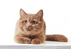 Retrato do gatinho britânico Fotografia de Stock Royalty Free