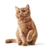 Retrato do gatinho britânico Fotografia de Stock
