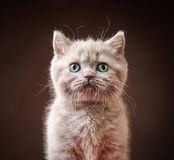 Retrato do gatinho britânico Foto de Stock Royalty Free