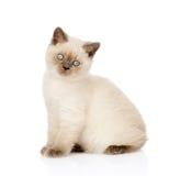 Retrato do gatinho britânico de Shorthair Isolado no branco Fotos de Stock