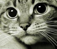 Retrato do gatinho da vaquinha do gato Foto de Stock Royalty Free