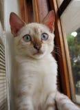 Retrato do gatinho de Bengal Imagens de Stock