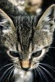 Retrato do gatinho do gato malhado Foto de Stock