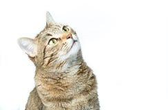 Retrato do gatinho europeu bonito isolado no fundo branco, retrato animal Fotos de Stock Royalty Free
