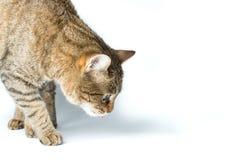 Retrato do gatinho europeu bonito no fundo branco, retrato animal Fotos de Stock Royalty Free
