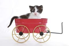 Retrato do gatinho no est?dio no fundo branco Imagens de Stock Royalty Free