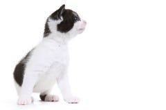Retrato do gatinho no est?dio no fundo branco Imagem de Stock Royalty Free