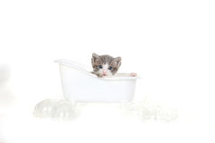 Retrato do gatinho no est?dio no fundo branco Fotografia de Stock