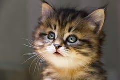 Retrato do gatinho pequeno do gato malhado em um fundo cinzento Fotos de Stock Royalty Free
