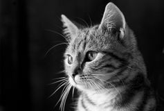 Retrato do gato Fotografia de Stock Royalty Free