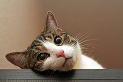 Retrato do gato Imagens de Stock