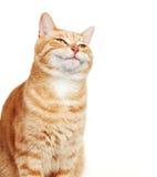 Retrato do gato. Fotografia de Stock Royalty Free