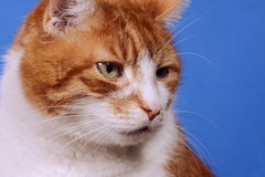 Retrato do gato Imagem de Stock Royalty Free