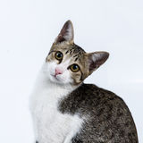 Retrato do gato Imagem de Stock Royalty Free