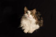 Retrato 2 do gato Fotografia de Stock