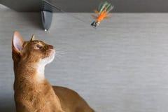 Retrato do gato abyssinian novo bonito Feche acima do gato vermelho Foto de Stock Royalty Free