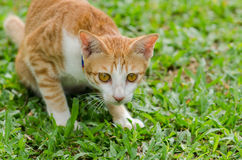 Retrato do gato alaranjado Imagens de Stock