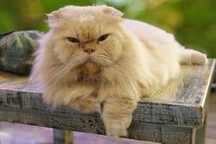 Retrato do gato branco bonito que senta-se na cadeira de madeira foto de stock royalty free