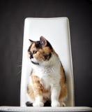 Retrato do gato britânico Foto de Stock Royalty Free