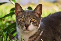 Retrato do gato cinzento fotografia de stock