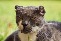 Retrato do gato cinzento foto de stock