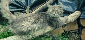 Retrato do gato cinzento de cabelos compridos grosso de Chantilly Tiffany que relaxa no jardim Feche acima do gato gordo Imagem de Stock Royalty Free