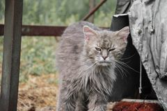Retrato do gato cinzento de cabelos compridos grosso de Chantilly Tiffany que relaxa no jardim Feche acima do gato gordo Fotos de Stock Royalty Free