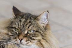 Retrato do gato da beleza com cabelo marrom do gato malhado, raça siberian imagens de stock royalty free