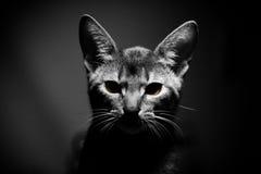 Retrato do gato de Abessinier imagens de stock royalty free