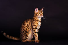 Retrato do gato de bengal Foto de Stock Royalty Free