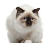 Retrato do gato de Birman, sentando-se na frente de Imagens de Stock