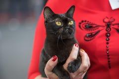 Retrato do gato de Bombaim Imagem de Stock