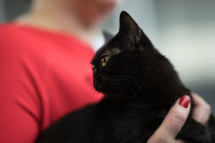 Retrato do gato de Bombaim Imagens de Stock Royalty Free