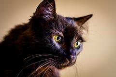 Retrato do gato de cabelos compridos Fotos de Stock Royalty Free