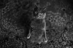 Retrato do gato de Chartreux Fotos de Stock Royalty Free