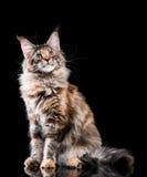 Retrato do gato de Coon de Maine foto de stock royalty free