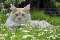 Retrato do gato de Coon de Maine Foto de Stock