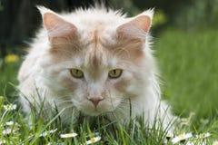 Retrato do gato de Coon de Maine Fotos de Stock