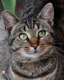 Retrato do gato de gato malhado Fotos de Stock