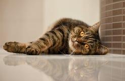 Retrato do gato de gato malhado Foto de Stock
