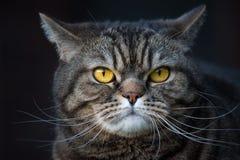 Retrato do gato de gato malhado Fotografia de Stock Royalty Free