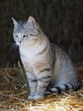 Retrato do gato de gato malhado cinzento Fotografia de Stock Royalty Free