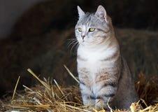 Retrato do gato de gato malhado cinzento Imagem de Stock Royalty Free