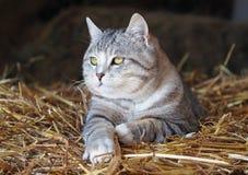 Retrato do gato de gato malhado cinzento Foto de Stock