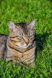 Retrato do gato de gato malhado de cabelos curtos doméstico que encontra-se na grama Tomcat que relaxa no jardim fotos de stock