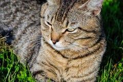 Retrato do gato de gato malhado de cabelos curtos doméstico que encontra-se na grama Tomcat que relaxa no jardim fotos de stock royalty free