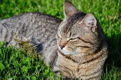 Retrato do gato de gato malhado de cabelos curtos doméstico que encontra-se na grama Tomcat que relaxa no jardim imagens de stock