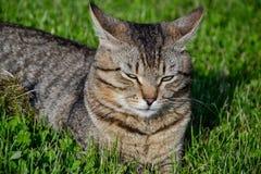 Retrato do gato de gato malhado de cabelos curtos doméstico que encontra-se na grama Tomcat que relaxa no jardim fotografia de stock