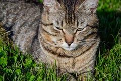 Retrato do gato de gato malhado de cabelos curtos doméstico que encontra-se na grama Tomcat que relaxa no jardim imagens de stock royalty free