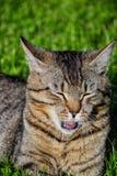 Retrato do gato de gato malhado de cabelos curtos doméstico que encontra-se na grama Tomcat que relaxa no jardim imagem de stock royalty free